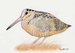 American Woodcock - Scolopax minor (Drawing)
