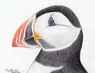 Atlantic Puffin - Drawing by Terry Sohl