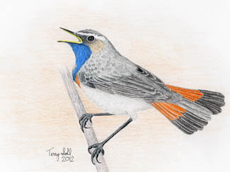 Bluethroat - Drawing by Terry Sohl