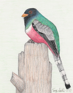 Elegant Trogon - Drawing by Terry Sohl