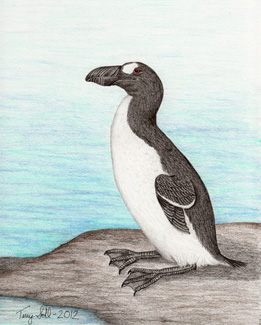 Great Auk - Penguinus impennis
