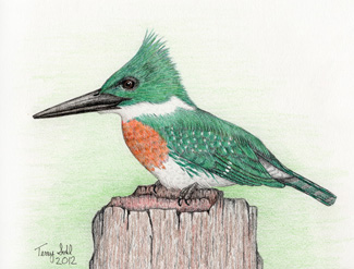 Green Kingfisher - Drawing by Terry Sohl