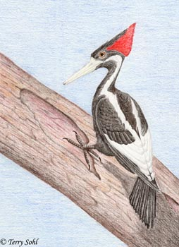 Ivory-billed Woodpecker - Drawing by Terry Sohl