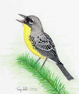 Kirtland's Warbler - Drawing by Terry Sohl