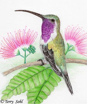 Lucifer Hummingbird - Drawing by Terry Sohl