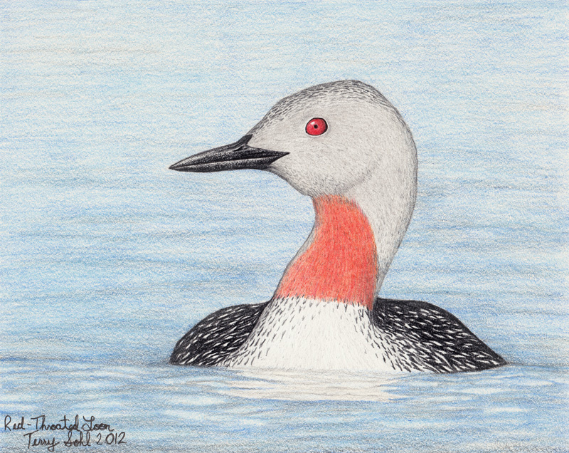 Loon Drawing Red-throated loon - drawing by Red Throated Loon