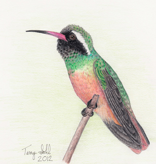 Xantu's Hummingbird - Drawing by Terry Sohl