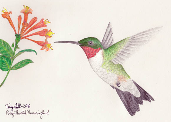 Ruby-throated Hummingbird - Drawing by Terry Sohl