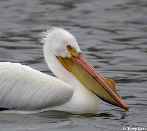 American White Pelican - South Dakota Birds
