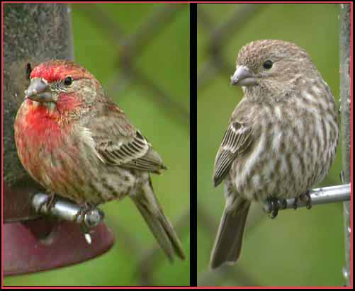 House Finch - South Dakota Birds and Birding