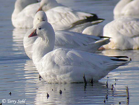 While quite similar, Ross's Geese can be differentiated from the Snow Goose