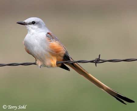 Scissor-tailed Flycatcher Bird