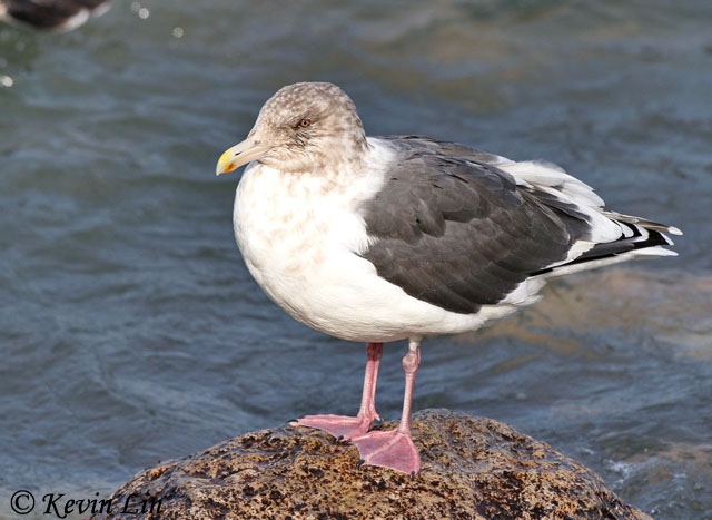 Slaty-backed Gull – Beacon Train Station found by Curt McDermott 1 ...