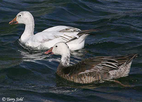 Once considered two separate species, the Snow Goose and the Blue Goose are
