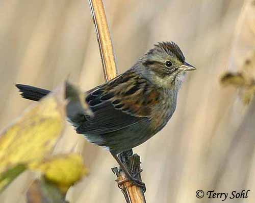 Swamp Sparrow - South Dakota Birds and Birding