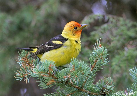 female western tanager in tree free downloading wallpapers