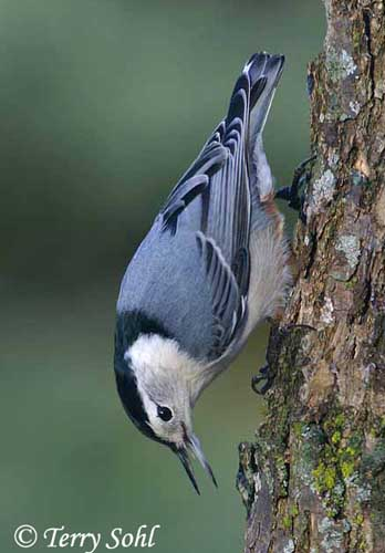 white breasted nuthatch--photo by Terry Sohl