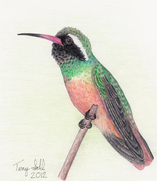 Xantus Xantus's Hummingbird -...