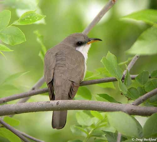 Yellow-billed Cuckoo - South Dakota Birds and Birding
