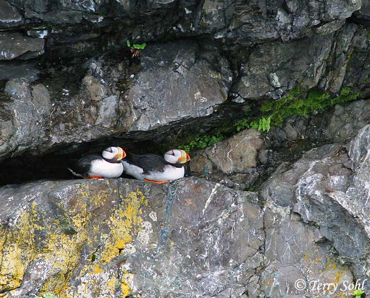 Atlantic Puffin Nest