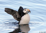 Horned Puffin - Fratercula corniculata