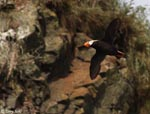 Tufted Puffin - Fratercula cirrhata