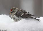Common Redpoll - Carduelis flammea