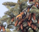 White-winged Crossbill - Loxia leucoptera