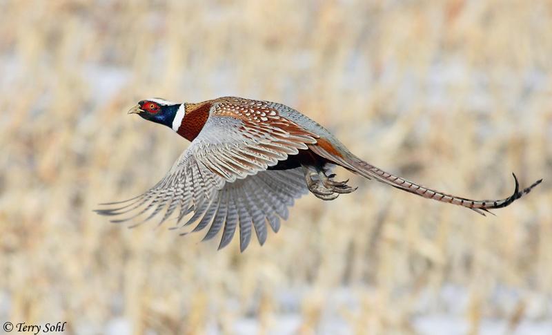 quail animal clipart