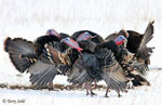 Wild Turkey - Meleagris gallopavo