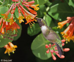 Ruby-throated Hummingbird - Archilochus colubris