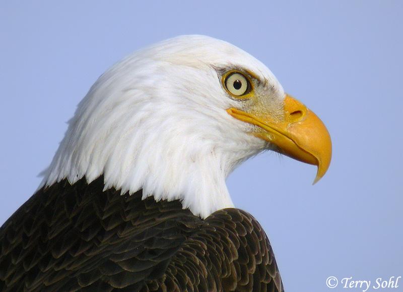 Click for more bald eagle photos