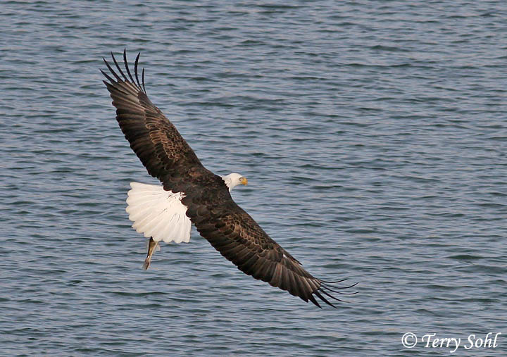 Bald Eagle Catching Fish http://sdakotabirds.com/species_photos/raptors/bald_eagle_13.htm