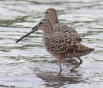 Short-billed Dowitcher 1 - Limnodromus griseus