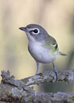Blue-headed Vireo - Vireo solitarius