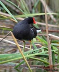 Common Moorhen - Gallinula chloropus