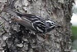 Black-and-White Warbler - Mniotilta varia