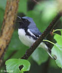 Black-throated Blue Warbler - Dendroica caerulescens