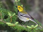 Black-throated Green Warbler - Dendroica virens