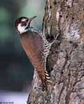 Arizona Woodpecker - Picoides arizonae