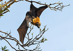 Grey-headed Flying Fox - Pteropus poliocephalus