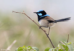 Superb Fairy-wren - Malurus cyaneus