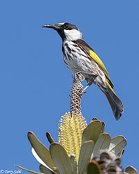 White-cheeked Honeyeater - Phylidonyris niger