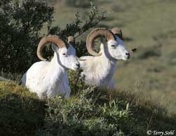 Dall Sheep - Ovis dalli