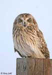 Short-eared Owl 6 - Asio flammeus
