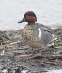 Green-winged Teal 3 - Anas crecca